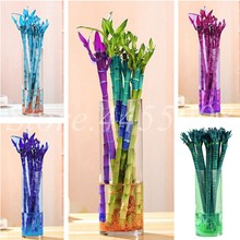 Big Promotion ! 40 pcs/ bag Fresh Indoor Lucky Bamboo Bonsai House Good Luck Bamboo Pot 100% True Potted Plant For Home Garden(China)