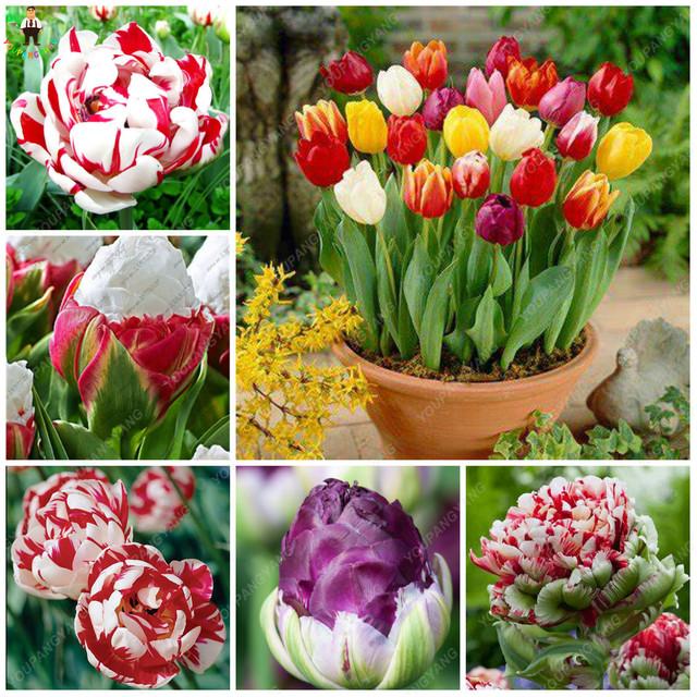 Hot !50Pcs Bonsai Tulip Flowers(Not Bulbs)Rainbow Color Petals Outdoor Tulip Flower Perennial DIY Home Garden Bonsai Pot Plants