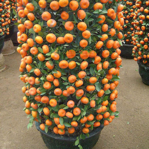 Online Get Cheap Fruit Trees Indoors -Aliexpress.com   Alibaba Group
