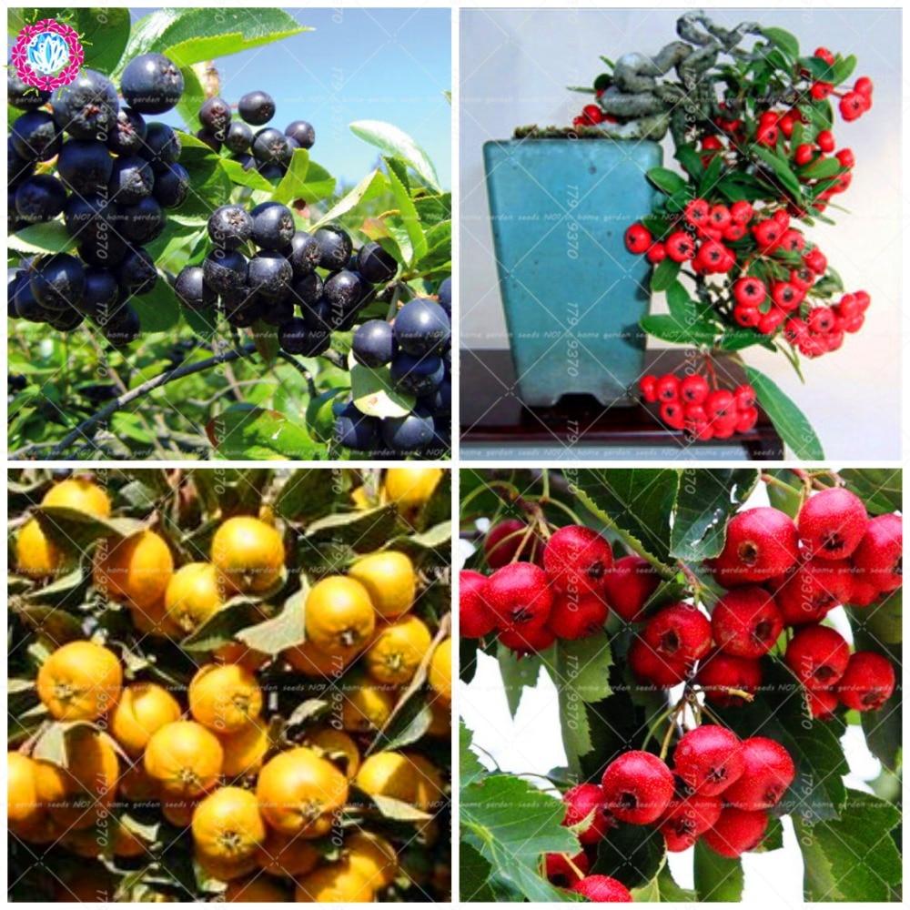 50 шт. Редкий черный Боярышник бонсай Боярышник дерево haw; май дерево; maybush; Crataegus pinnatifida фрукты для сада