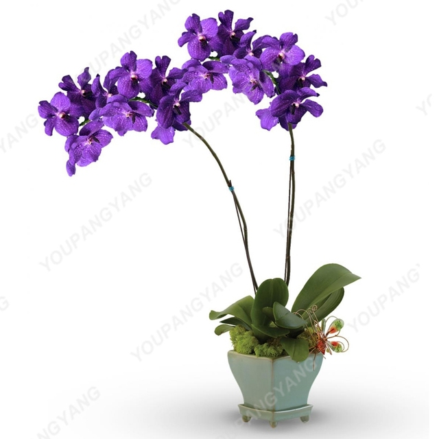 100 Pcs/bag Rare Mini Orchid bonsai Phalaenopsis Orchid Indoor Flower bonsais Orchid Pot Home Garden Plantas Decoration