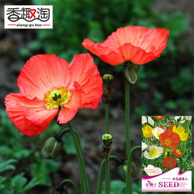 1 original pack 100 seeds corn poppy iceland poppy seed flower 1 original pack 100 seeds corn poppy iceland poppy seed flower seeds mightylinksfo