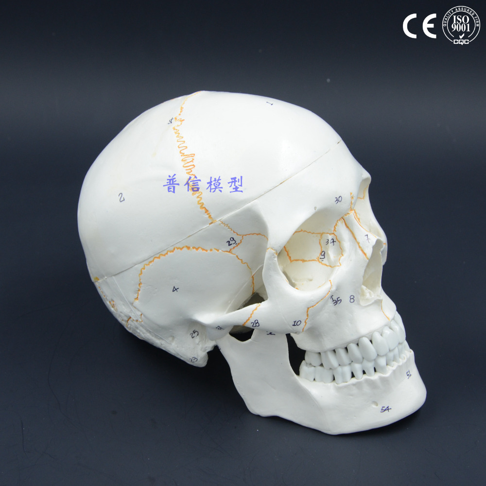 11 Size Adult Skull Model Anatomy Studio Painting Medical Teaching