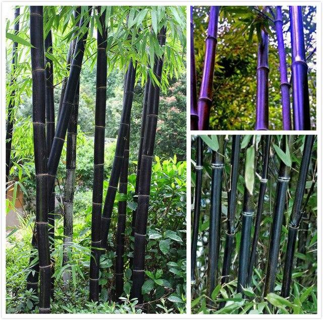 Seltene 50 Stücke Lila Bambus Baum Pflanzen Gepflanzt Hof Dekorative Japan  Garten Gemüse Plantas Bonsai Sementes