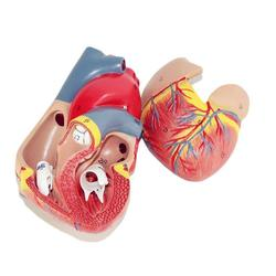 Modelos anatómicos de corazón humano Emulational DE ÓRGANOS DE Viscera médica modo l para recursos de enseñanza de ciencia médica en la escuela