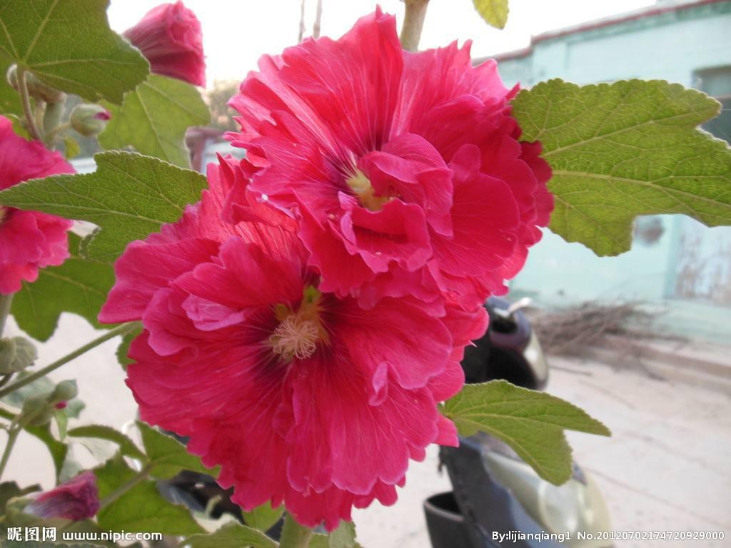 Taille Hibiscus De Jardin Avec Table De Jardin Pour Balcon ...