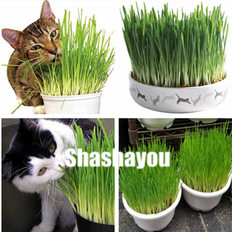 Sale 1000 Pcs Cat Grass Bonsai Herb Edible Lemongrass Kitchen Vegetable Potted Plant Medicinal Use Graines Legumes Potager