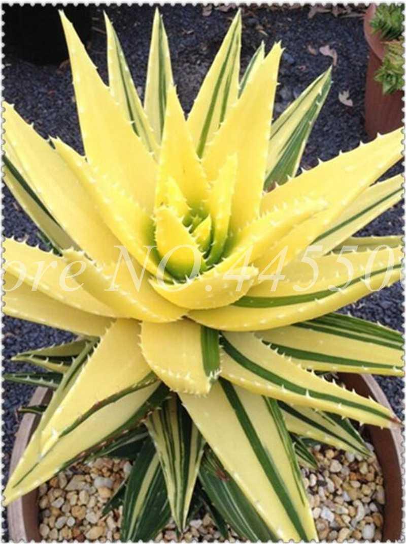 100 pçs/saco Vegetais & Fruit Bonsai Vaso de Plantas Aloe Vera Beleza Comestível Cosmética Ao Ar Livre para Home & Garden Purificação Do Ar