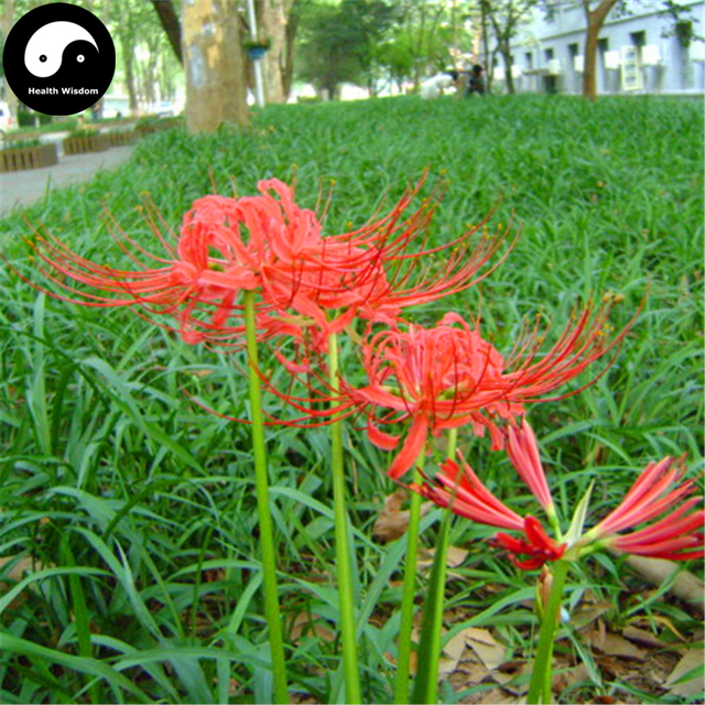 Red Spider Lily Flower Te 60pcs Plant Lycoris Radiata Garden
