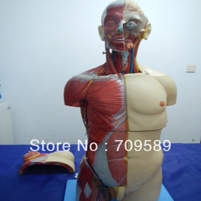 Dual Sex Torso with Open Back 32 Parts, Deluxe Human Torso model anatomy of the torso model 85cm male torso 19 parts