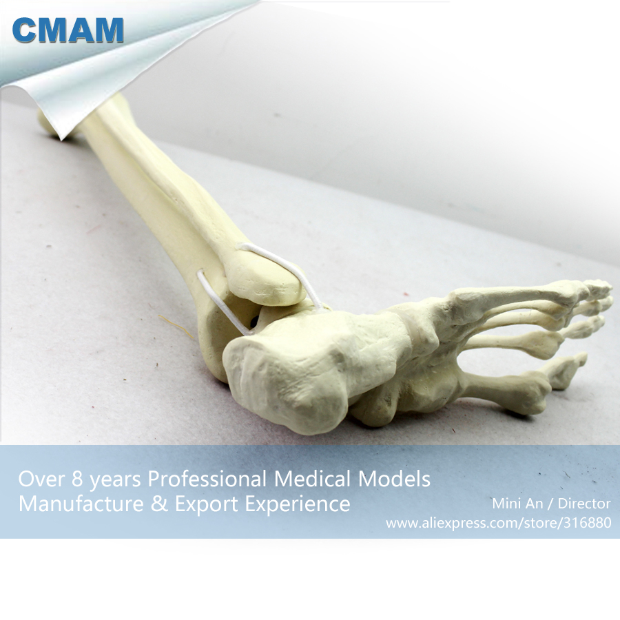 12317 CMAM-TF06 Synthetic Bones - Skeleton of Lower Limb (Right or Left),SWABone Models / Tibia + Fibula + Foot Skeleton new 2pcs female right left vivid foot mannequin jewerly display model art sketch