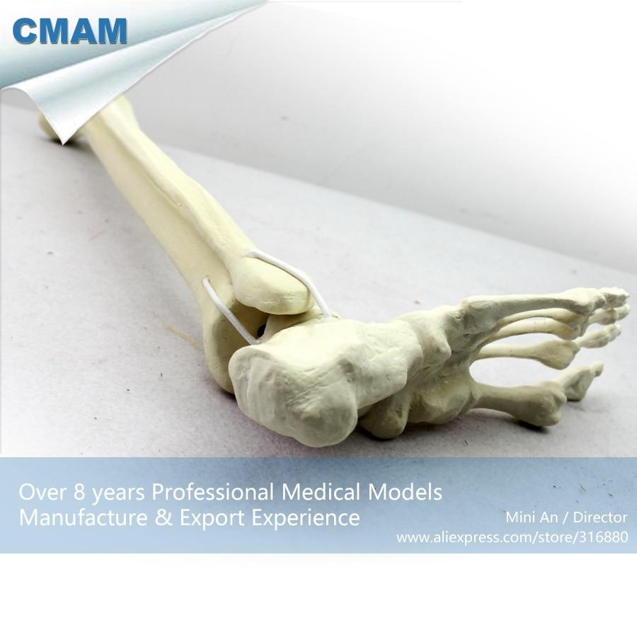12317 CMAM TF06 Synthetische Knochen Skeleton der Unteren Gliedmaßen ...