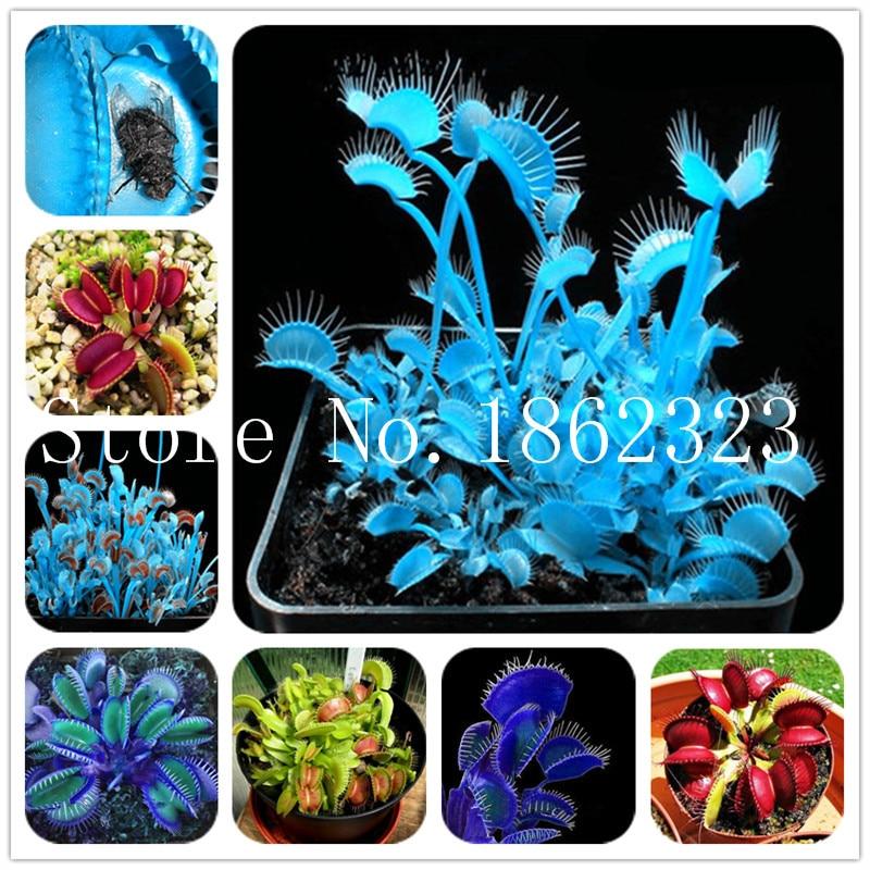 50Pcs Bule Potted Insectivorous Plant Bonsai Dionaea Muscipula Giant Clip Venus Flytrap Bonsai Carnivorous Plant DIY Home Garden