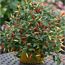 Seeds Chili Pepper Seeds Vegetable seeds Basket of Fire  garden decoration   100pcs  B01