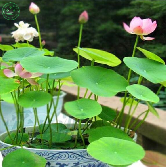 Flower Seeds Red Lotus Seeds Nymphaea Asian Water Lily Pad
