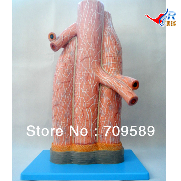 ISO Anatomical Model of Magnified Artery and Vein Model iso anatomical model of appendix and caecum human appendix
