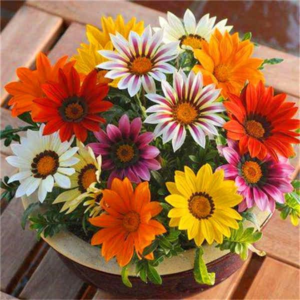 Promoção! Medalha de crisântemo 100/saco belos vasos de bonsai crisântemo flor natural home decoração jardim navio livre