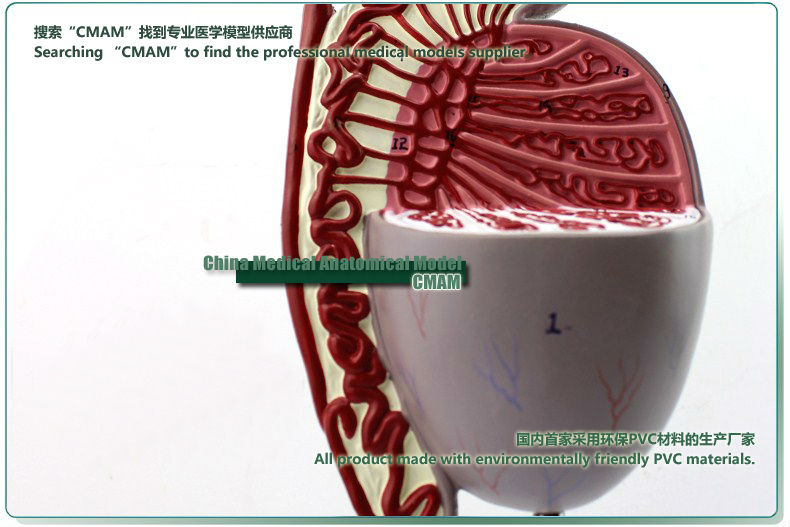 CMAM] Male Testes Section Anatomical Model , 1part, 3.5 times ...
