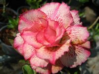 100 Genuine Petchsayrung Adenium Obesum Seeds 100 SEEDS Bonsai Desert Rose Flower Plant Seeds