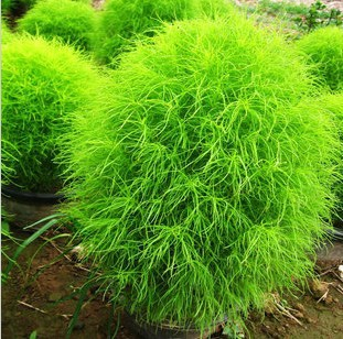 100 Pcs Seeds Green Lawn Hardy Plants Beautiful Plant Free Shipping