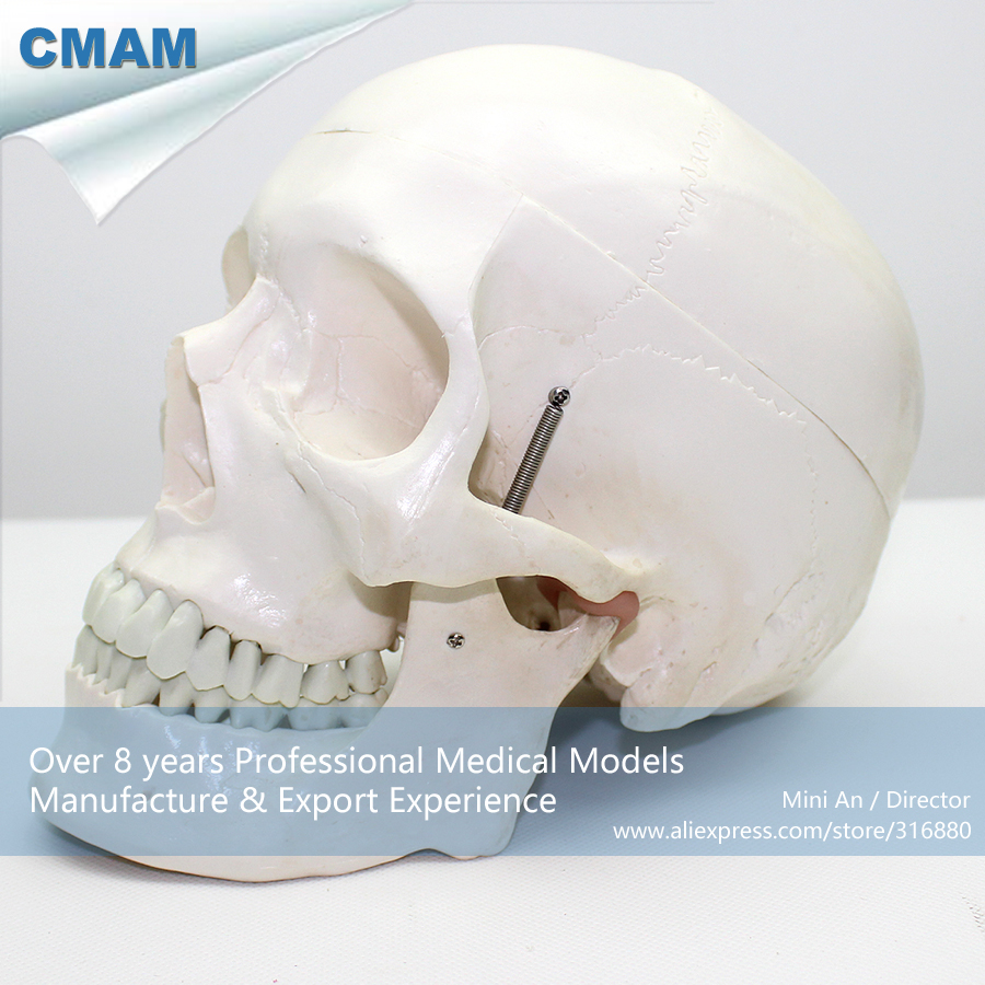 CMAM-SKULL03 Life Size Medical Human Skull Anatomy Model ,  Medical Science Educational Teaching Anatomical Models cmam viscera01 human anatomy stomach associated of the upper abdomen model in 6 parts