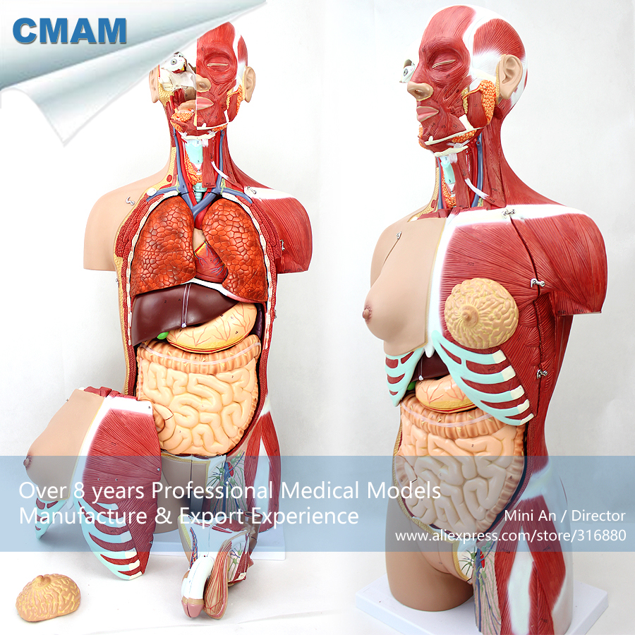12016 CMAM-TORSO05 Anatomy Dual-Sex Torso Muscle Model - 29 Parts, Medical Science Educational Teaching Anatomical Models 42cm male 13 torso model torso anatomical model of medical biological teaching aids equipment
