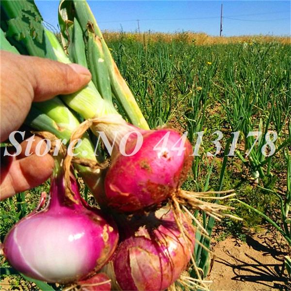 _Allium_Cepa_Vegetable_Seeds_Online_Plant_Spices_Vegetables_Herb_Onion_Grow_Onions_Yang_Cong__1_