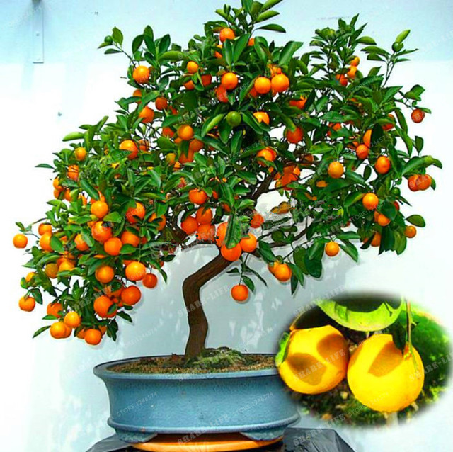 30 Pcs Bonsai Orange Seeds NO GMO Mini Bonsai Tree Balcony Patio Potted  Fruit Trees