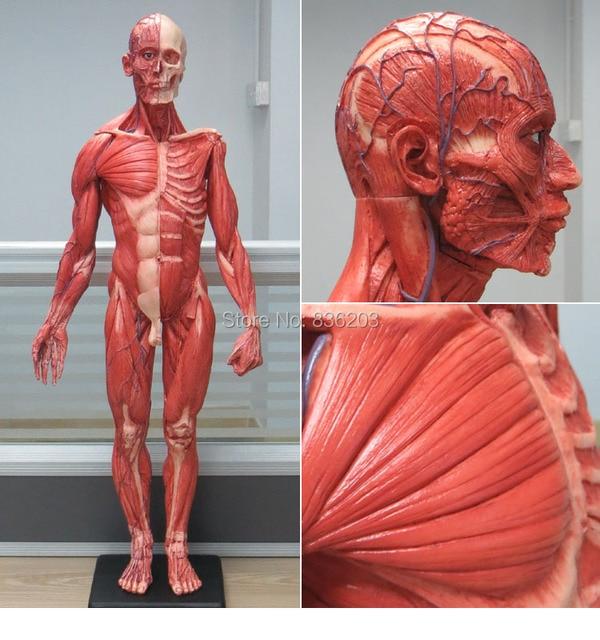 60cm Human Male Resin Skull Skeleton Anatomical Model For Denture