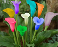 Semillas del lirio de cala, envío libre barato semillas del lirio de cala, calla lirio de semillas en macetas, semillas de flores-100 unids/bolsa