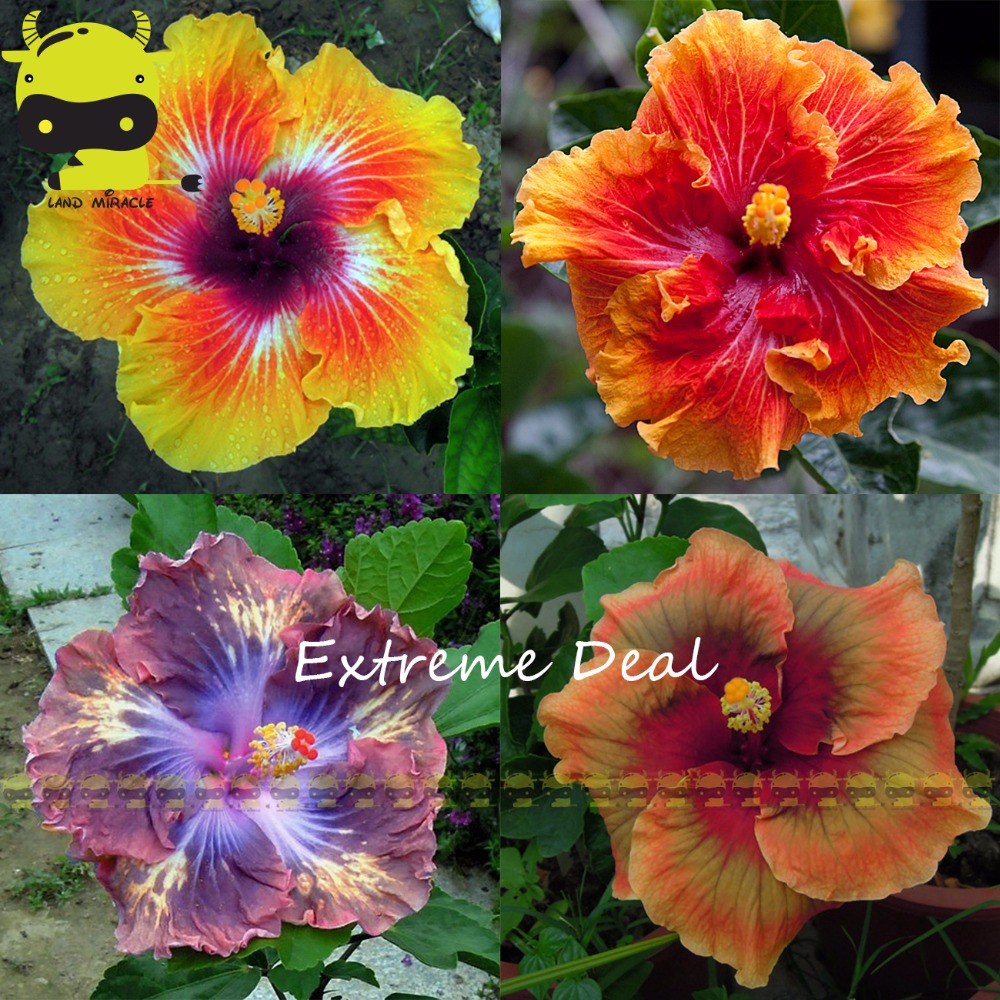 20pcs Rare Giant Thai Rainbow Hibiscus Seeds Perennial Flower