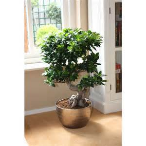 online kaufen gro handel bonsai ficus ginseng aus china. Black Bedroom Furniture Sets. Home Design Ideas