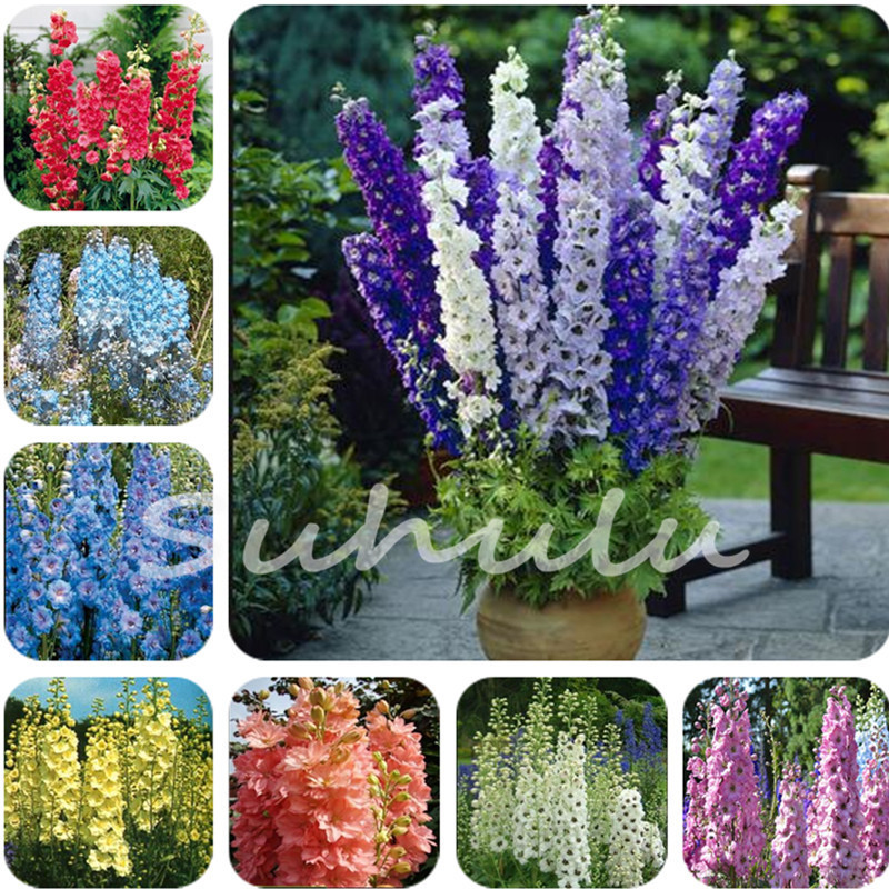 Bellfarm Diffe Types Of Delphinium Perennial Flowers 100 Pcs Blooms Beautiful Home Garden Flower