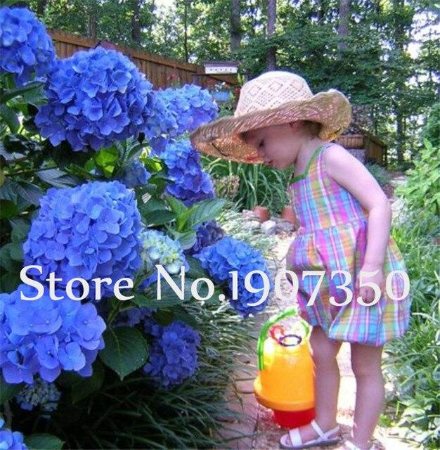 Bonsai 50 pz a Scelta Multipla di Colore Ortensia Bonsai Pianta Del Fiore di Ortensia Balcone Ornamentale Perenne Giardino bonsai planta