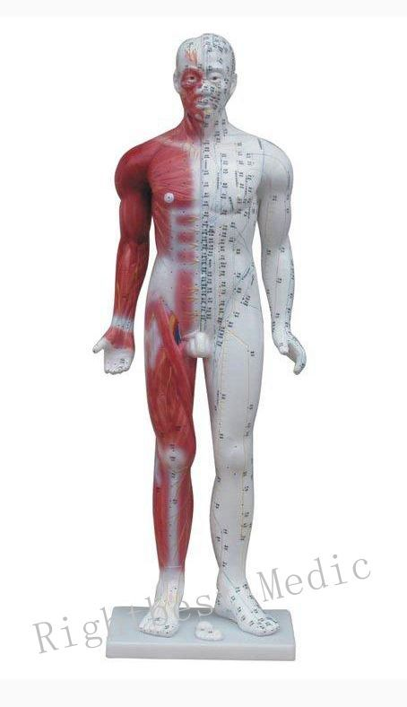 English User ManualEnglish User Manual Male Human Acupuncture Points and Muscle Model 84CM