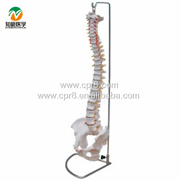 BIX-A1009 Life-Size Vertebral Column ,Spine With Pelvis Model  W015 bix a1009 life size vertebral column spine with pelvis model