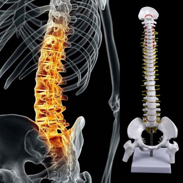 45 سنتيمتر العمود الفقري التشريحي البشري مع الحوض نموذج مرن الطبية تعلم المعونة التشريح