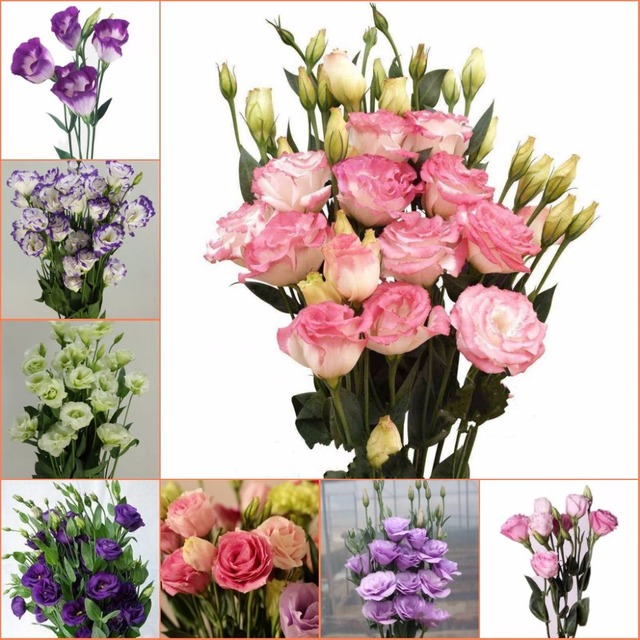Bonsai new arrival 50seedspack lisianthus 25 colors collection bonsai new arrival 50seedspack lisianthus 25 colors collection bonsai lisianthus flower for home mightylinksfo
