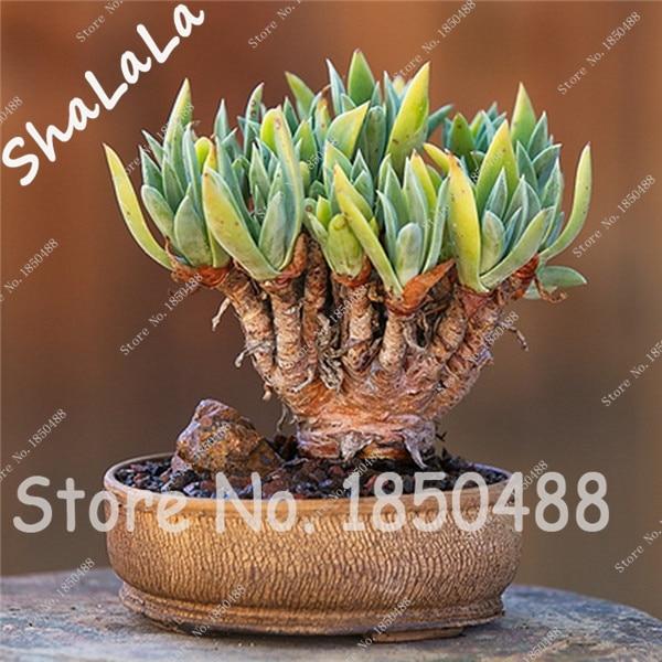 100 Pcs Rare Cactus Seeds Succulent Plants Office Desk Decor,Balcony  Courtyard Terrace Mini Bonsai