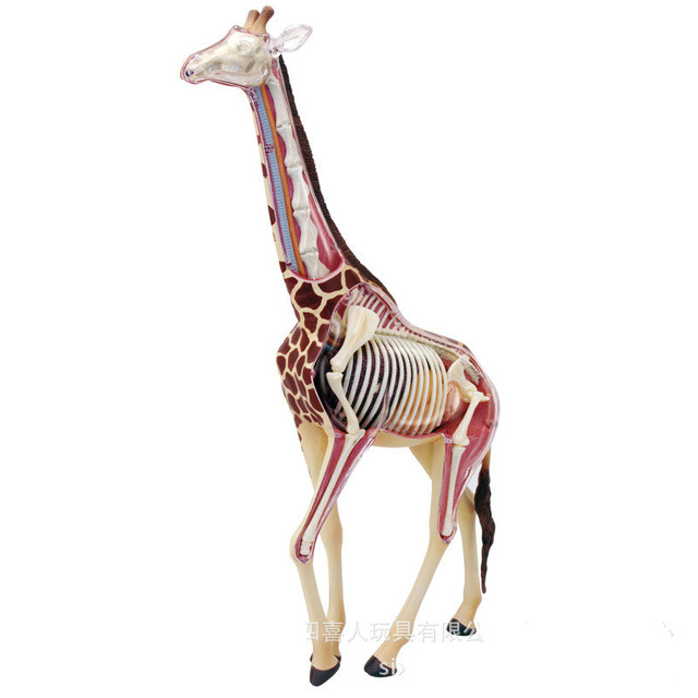 Animal Anatomy Giraffe Model 4D Educational Puzzle Medical Science ...