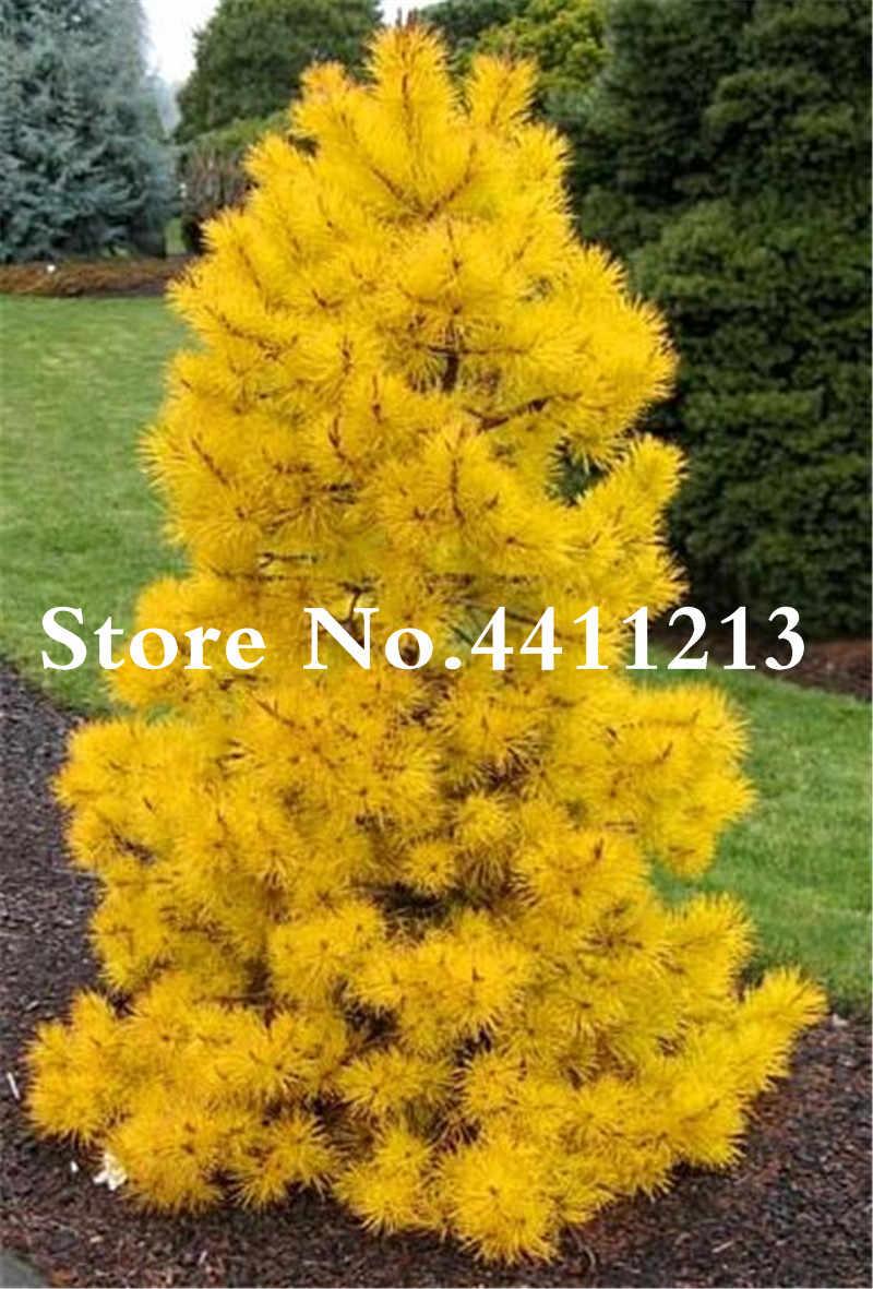2018 Горячая продажа альпинистское голубое ель бонсай Evergreen Colorado бонсай дерево для дома и сада растительное дерево-30 шт Бесплатная доставка