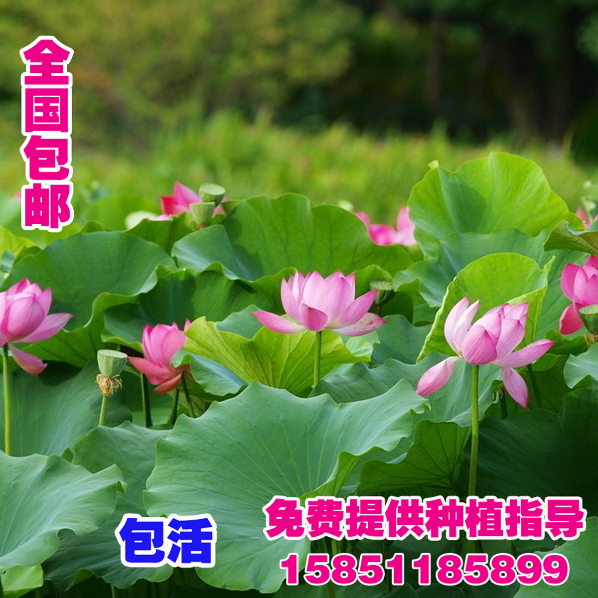 Compare prices on ornamental pond plants online shopping for Cheap pond plants