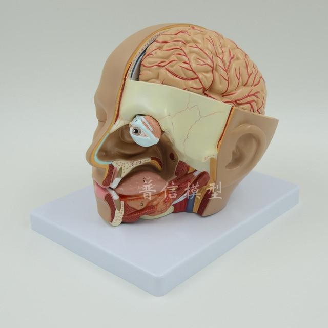 Human Head Anatomical Model Brain Model Medical Skeleton Teaching