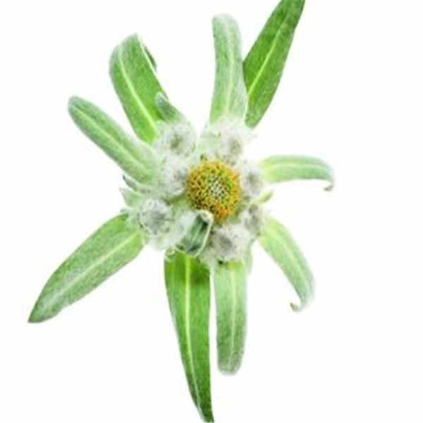 Scarce, hot selling Imported bonsai,20pcs/lot Edelweiss bonsai flower bonsai bonsai plant DIY home garden