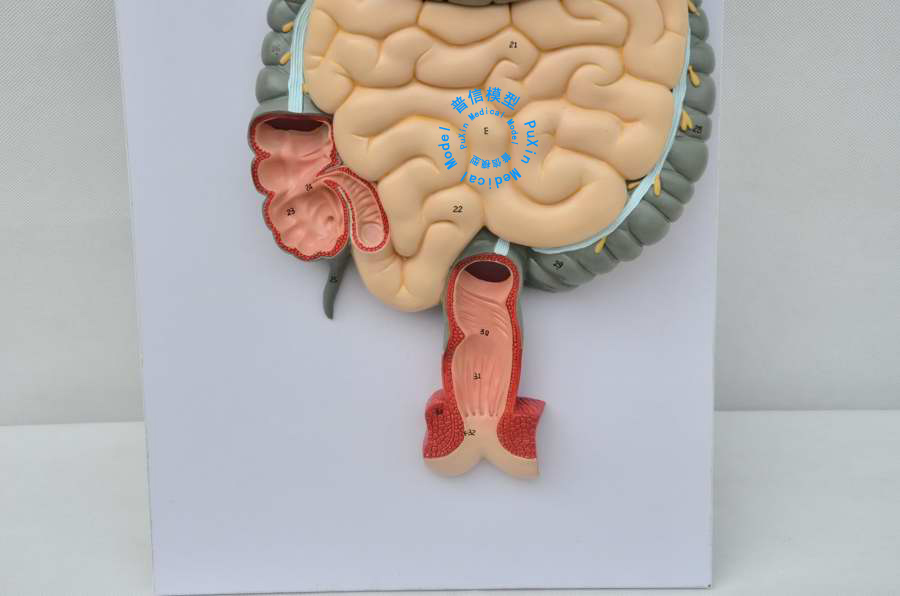 Human Digestive System Model Digestive Tract Nose Pharynx And