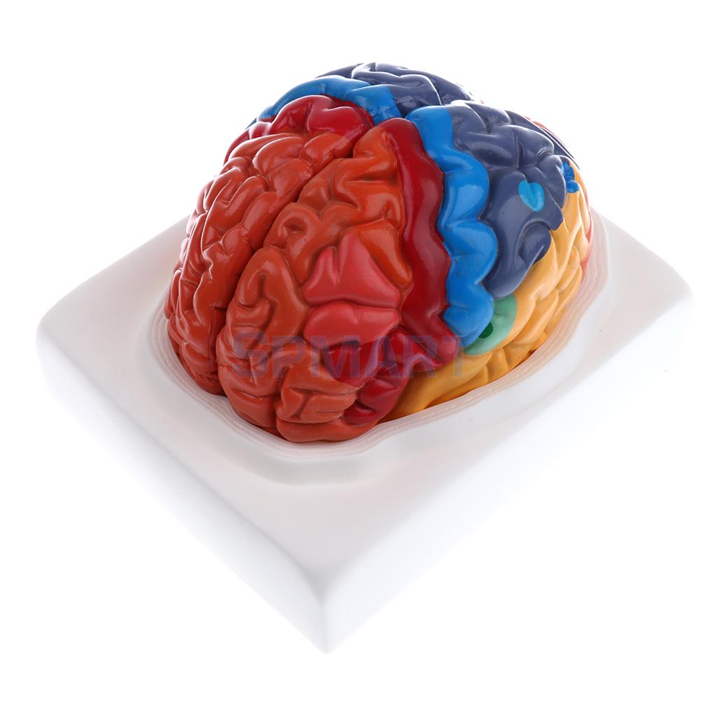 Buy brainstem model and get free shipping on AliExpress.com
