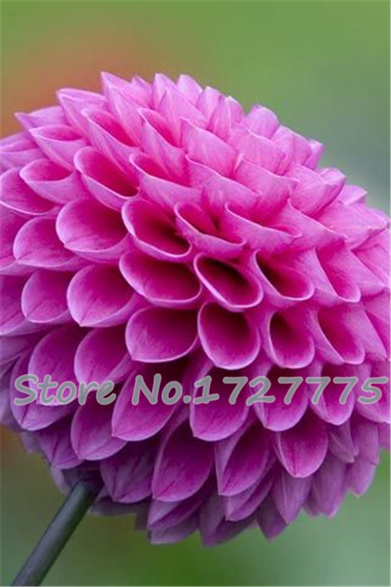 Youth-and-old-age,Purple fireball zinnia seeds,Color packaging seeds-about 100particles