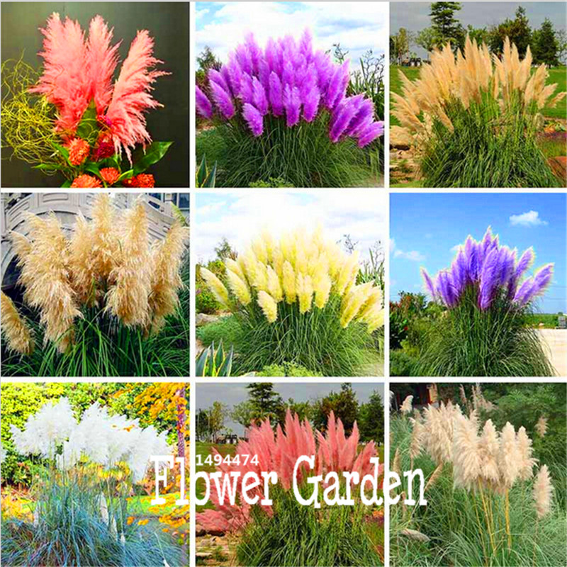 New Seeds 2015!Pampas Grass Seed Patio and Garden Potted Ornamental Plants New Flowers Cortaderia Grass Seed 50 Pcs/Bag,#KERHC4