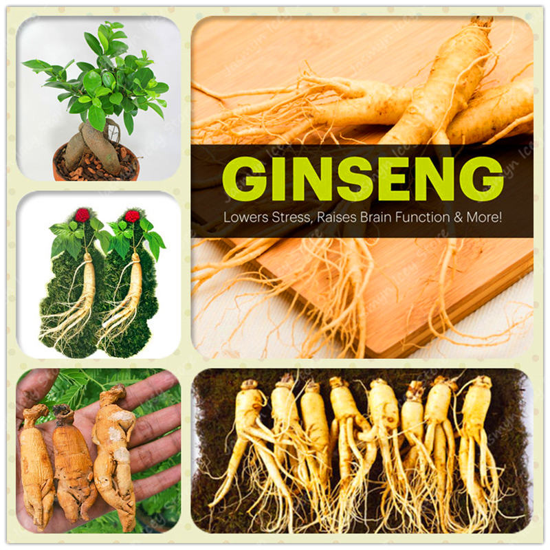 50pcs Japanese Panax Ginseng Bonsai Plants Rare High-nutrition Vegetable Fruit Potted for Home Garden High Survival Rate
