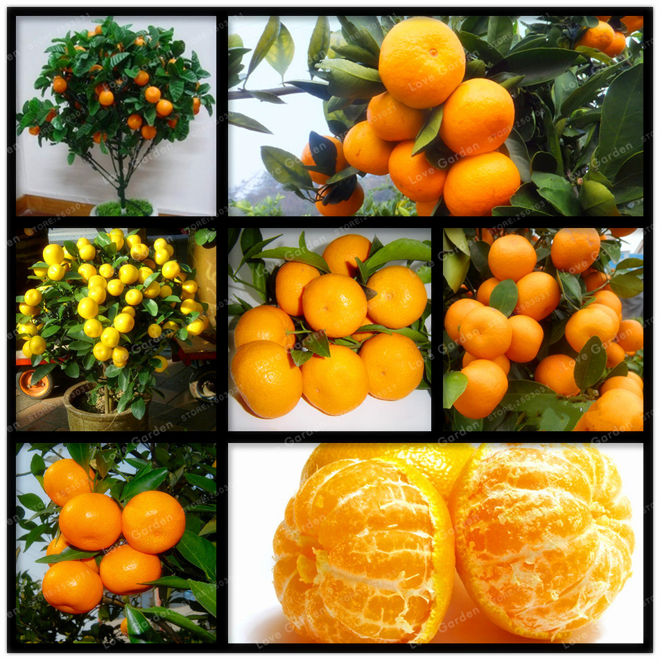 6 Dishes Health Nuts Order At Olive Garden: 30 Pcs Citrus Seed Bonsai Mandarin Orange Seeds Edible
